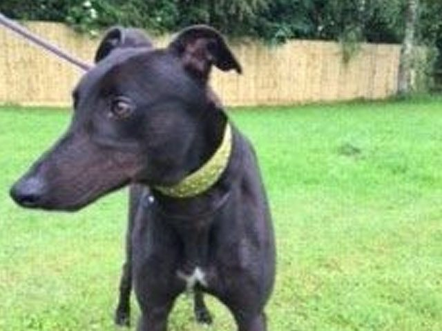 Give Tommy a Loving Home - Just For Dogs Rescue