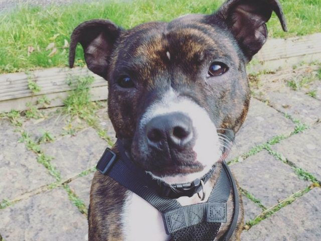 Give Hugo a Loving Home - Just For Dogs Rescue