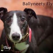 Ballyneety Fly